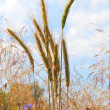 Royalty-Free Stock Photo: Summer view of ripe wheat.