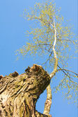 Old stump and little birch on a blue sky — Stock Photo