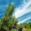 Pine-tree and blue sky. — Stock Photo #1130058