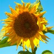 Royalty-Free Stock Photo: Sunflower.