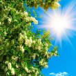 Fun sun in sky and white acacia. — Stock Photo