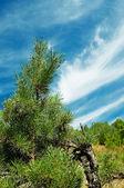 Pine-tree and blue sky. — Stock Photo