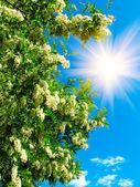 Fun sun in sky and white acacia. — Stock Photo