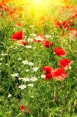 Splendid meadow by summer. — Stock Photo
