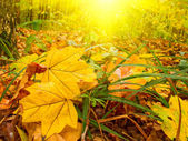 Fun sunbeams and golden leaves by autumn — Stock Photo