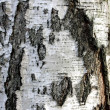Stock Photo: Bark of old birch.