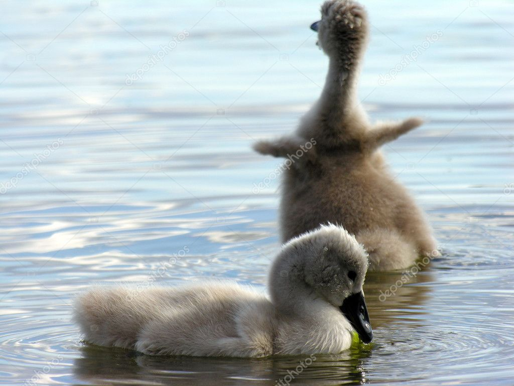Two cygnets on the water in different positions.            Photo #1118177