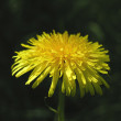 Dandelion. — Stock Photo