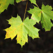 Maple leaves(II). — Stock Photo