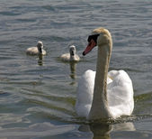 Mute swan family. — Stock Photo