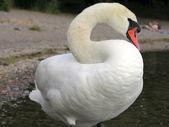 Mute swan. — Stock Photo