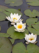 White water lily. — Stock Photo