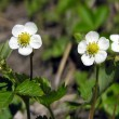Stock Photo: Blossoming wild strawberry.