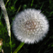 Stock Photo: Ripened dandelion.