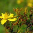 Stock Photo: St. John's wort.