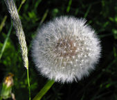 The ripened dandelion. — Stock Photo