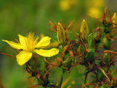 St. John's wort. — Stock Photo