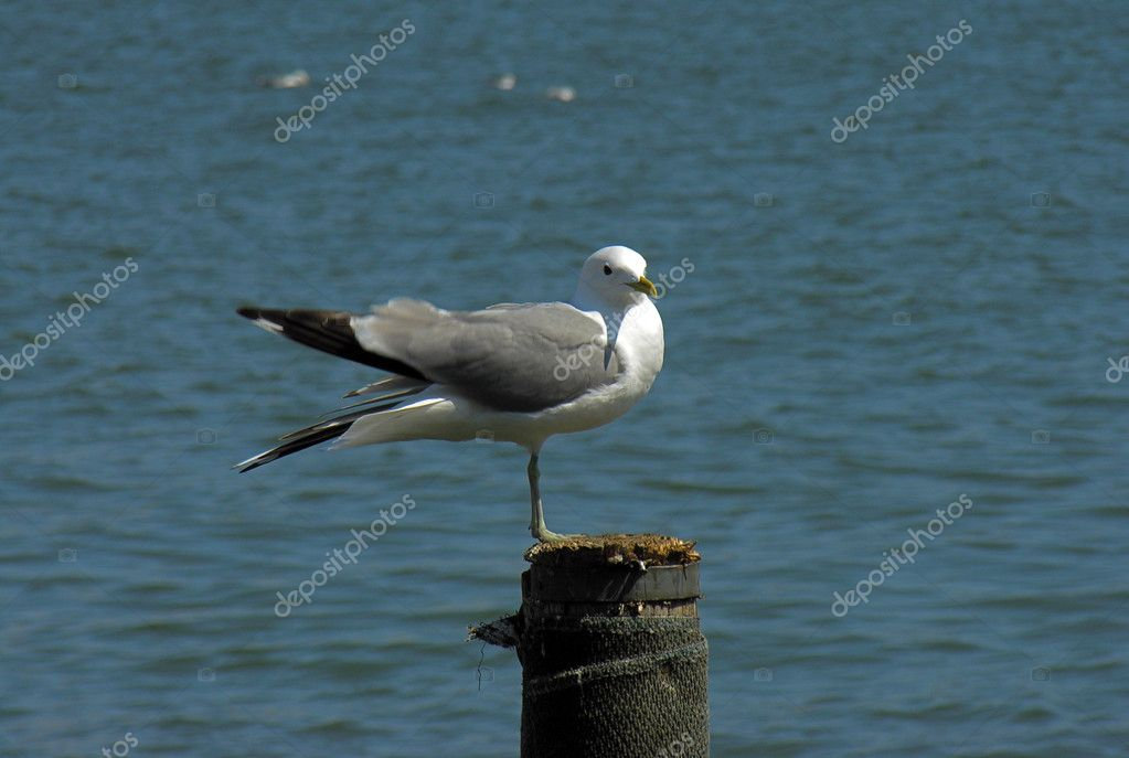 Seagul on the log.        — Stock Photo #1426016