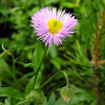 Small blue chrysanthemum. — Stock Photo
