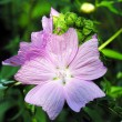 Stock Photo: Mallow flower.