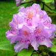 Stock Photo: Rhododendron.