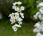 Bird cherry flowers. — Stock Photo
