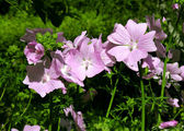 Mallow flowers. — Stock Photo
