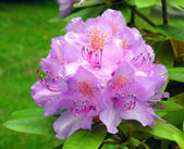 Blue cultivated rhododendron. — Stock Photo