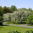 Stock Photo: Blossoming apple tree.