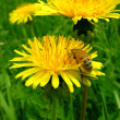 Bee and dandelion. - Stock Photo