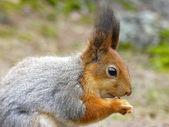 Eating red squirrel. — Stock Photo