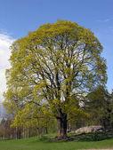 Drzewo duży klon. — Zdjęcie stockowe