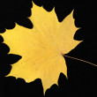 Stock Photo: Maple leaf (III).
