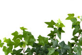Ivy with drops of water — Stock Photo