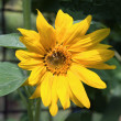 Beautiful sunflower at summer — Stock Photo #1168688