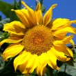 Stock Photo: Sunflower with blue sky