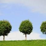 Three rounded trees — Stock Photo