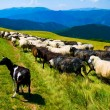 Herd of goats and sheeps - Stock Photo