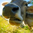Chewing cow — Stock Photo