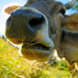 Stock Photo: Chewing cow