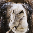 Head of camel with nostrils — Stock Photo