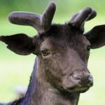 Wild deer — Stock Photo #1134356