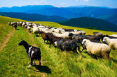 Herd of goats and sheeps — Stock Photo