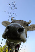 Muzzle of cow — Stock Photo