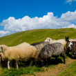 Stock Photo: Mountains and sheep