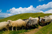 Mountains and sheep — Stock Photo