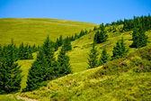 Fur-trees — Stock Photo