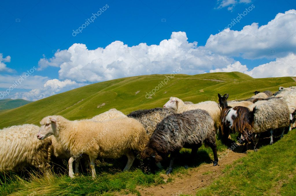 Mountains and sheep — Stock Photo #1262639