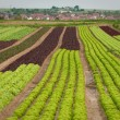 Lettuce field — Stock Photo #1382193