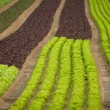 Lettuce field — Stock Photo #1382213